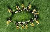Ants feeding on a nectar drop Nicaragua