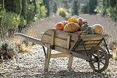 Harvest of pumpkins in a wheelbarrow in autumn