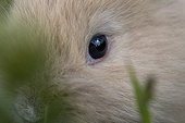 Regard de jeune lapin beige domestique dans l'herbe France