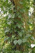 Foliage of Tarovine on a tree Martinique