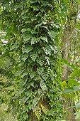 Tarovine on a trunk Martinique