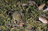 Northern Birch Mouse searching for food Finland