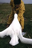 Wandering Albatross with an tag ARGOS and Scientist