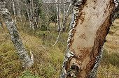 Galleries of bark beetles under bark of a birch France