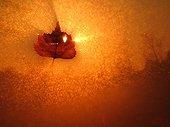 Feuille de Bouleau flottant à la surface d'une gouille ; Localisation: Tourbière de Frasne.