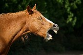 Portrait of a horse neighing in France