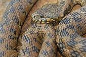 Viperine Water Snake Plaine des Maures Provence France ; Location : Vidauban