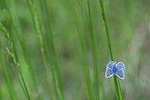 Common Blue on a stem grass in Auvergne Nature Park France ; Location : La Molière à Neuville