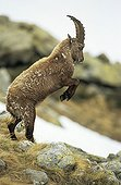 Young Ibex position of confrontation PN Mercantour France