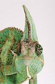 Portrait of a Yemen chameleon in studio
