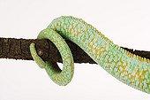 Tail of a Yemen chameleon in studio
