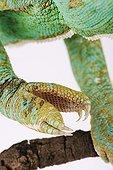 Paw of a Yemen chameleon in studio