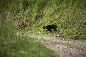 Spectacled Bear crossing a mountain path Imbabura