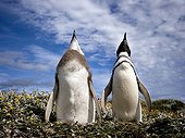 Courtship behaviour of Magellanic penguins Patagonia