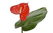 Anthurium leaf and inflorescence in studio