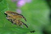 Weevils mating on a leaf France