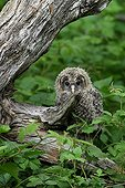 Young Ural Owl landed on the ground Bavarian Forest NP