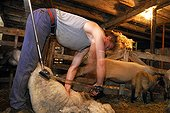 Mowing a Sheep in a sheepfold Auvergne France