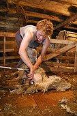 Tonte d'un Mouton dans une bergerie auvergnate France ; Bergerie de Georges Monier, Reignat, commune de Montaigut-le-Blanc.
