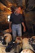 Berger s'apprêtant à tondre ses Moutons Auvergne France ; Bergerie de Georges Monier, Reignat, commune de Montaigut-le-Blanc.