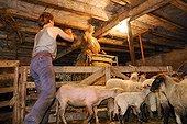 Moutons tondus et entreposage de la laine Auvergne France ; Bergerie de Georges Monier, Reignat, commune de Montaigut-le-Blanc.