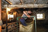 Compressing wool in a large bag  Auvergne France