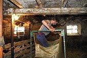 Tassement de la laine dans un grand sac Auvergne France ; Bergerie de Georges Monier, Reignat, commune de Montaigut-le-Blanc.