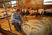 Packing wool in a large bag  Auvergne France
