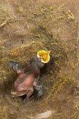 Oisillon le bec ouvert dans un nid