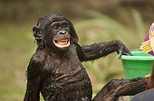 Bonobo being cleaned ; Lola ya Bonobo sanctuary.