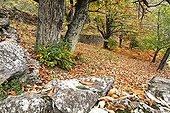 Chesnut forest in autumn Ardèche France