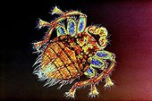 Bee louse under a microscope ; Lighting in polarized light, magnification X 20. Colorization by computer processing.