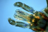 Rostrum of Lone star tick under microscope ; Lighting in polarized light with blade compensatory gypsum, magnification x 100