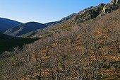 Chestnut forest on the slope of Mount Tanargue Ardèche