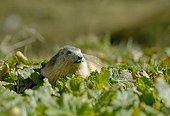 Marmotte des Alpes Massif de la Vanoise France