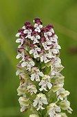 Portrait of an Orchid inflorescence Chèvremont