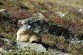 Marmotte alpine sur un rocher Massif de la Vanoise Alpes
