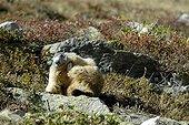 Marmotte se grattant sur un rocher Massif de la Vanoise