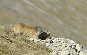 Marmottes des Alpes Massif de la Vanoise France