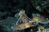 Cuttlefish mating in Mergui archipelago Burma