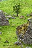 Sorb among magmatic boulders Ardèche France