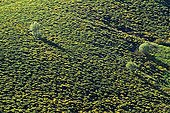 Few trees among broom Monts d'Ardèche NP France