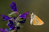 Skipper on a Viper's Bugloss