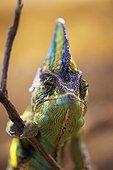 Portrait of a Chameleon male