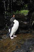 Western Rockhopper Penguin Falkland Islands