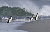 Gentoo Penguin Sea Lion Island Falkland Islands