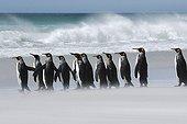 King Penguin Falkland Islands Volunteer Point