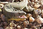 Female Ocellated lizard France