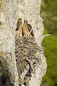 Poussins Aigles de Bonelli au nid dans l'Hérault
