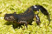 Male Alpine Newt with bridal livery Jura France